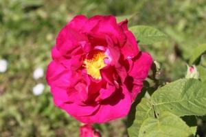 rosa gallica officinalis im Internet-Rosengarten in Hetzdorf (Uckermark)